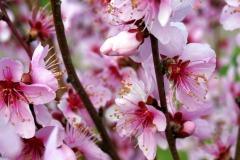 almond-blossom-3303695_1920