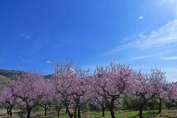Wanderung Mandelblüte Mallorca